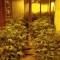 Localizan 2.500 plantas de marihuana en sótanos de casas en Georgia