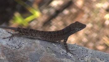 #ElDatoDeHoy: ¿Por qué los lagartos sobreviven a tormentas devastadoras?