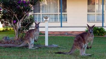 Canguros en Canberra, Australia