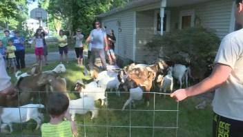 Cientos de cabras invaden un vecindario