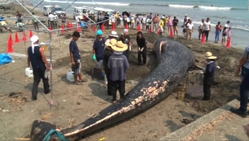 Ballena azul muere encallada en las cosas de Japón