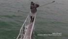 Tiburón blanco salta hacia un científico