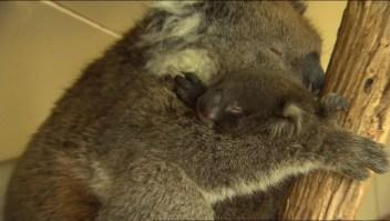 Bebé koala es reunificada con su mamá