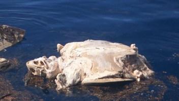 300 tortugas mueren atrapadas en redes de pesca