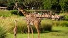 Aila: la jirafa bebé de Disney en Orlando