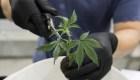 """""""Marihuanamanía"""" en Wall Street: ¿oportunidad o burbuja?"""