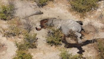 Elefantes sin Fronteras: Sí existe tráfico de marfil en Botswana
