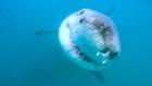 Hallan la guarida de los tiburones blancos en el Pacífico