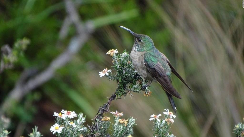 Ecuador tiene una nueva especie de colibrí