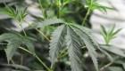 """""""Marihuanamanía"""" en Canadá: ¿una apuesta a la legalización global?"""