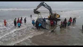 Logran rescatar a una ballena varada en Argentina