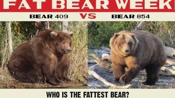 Competencia de osos más gordos en Alaska