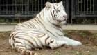 Un tigre blanco mató a su cuidadora en zoológico de Japón