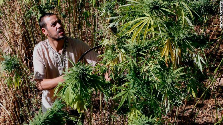Abdelkhalek Ben Abdellah inspecciona el cannabis en sus campos en las montañas del Rif en el norte de Marruecos.