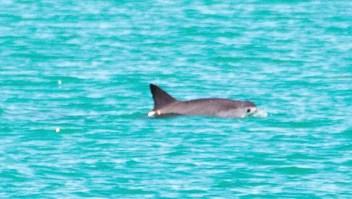Alegre avistamiento de vaquitas marinas bebés