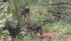 El lobo gris mexicano, cerca del peligro de extinción