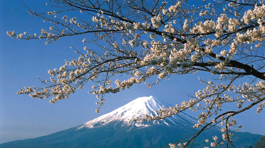 Monte Fuji: la montaña está rodeada por cinco lagos: el lago Kawaguchi, el lago Yamanaka, el lago Sai, el lago Motosu y el lago Shoji, todos los cuales brindan el primer plano perfecto para apreciar los cerezos en flor de la región.