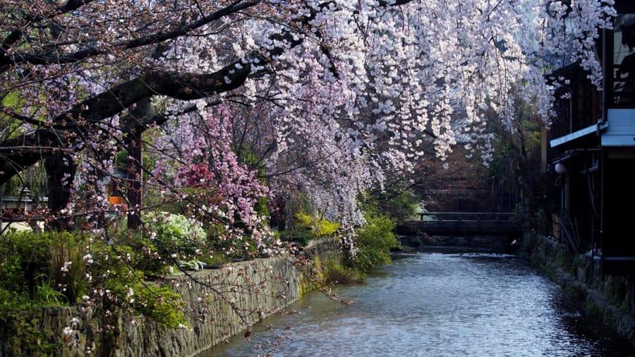 Gion, Kyoto: Uno de los mejores lugares en Kyoto para ver flores de cerezo se puede encontrar en el distrito de Gion. Los árboles se curvan suavemente hacia el canal de Shirakawa a medida que caen sus flores y se transportan suavemente río abajo.