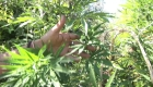 Cambian criterios legales sobre la marihuana en México