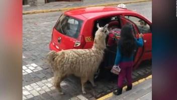 Una llama aborda un taxi en Perú