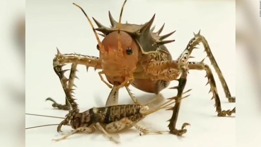 Insecto gigante devora un grillo completo