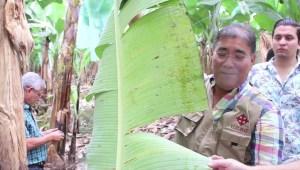 La técnica de Ángel Llerena para mejorar los cultivos de banano