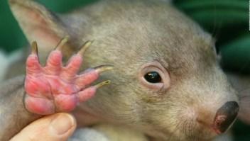 Misterio resuelto: descifran por qué las heces de wombat tienen forma de cubo