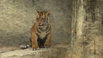 #EstoNoEsNoticia: zoológico de Berlín muestra sus tigres cachorros