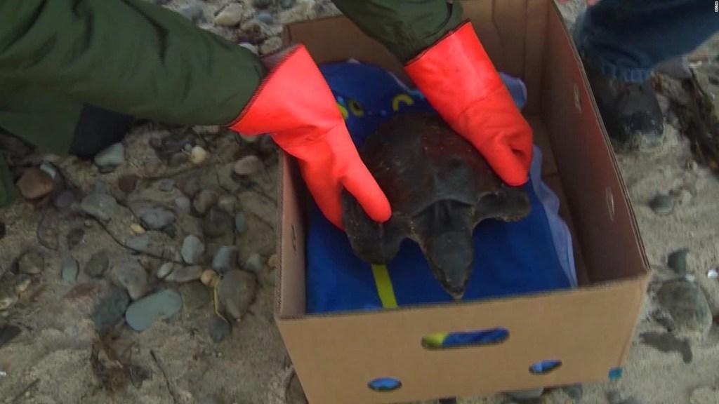Piloto traslada tortugas marinas rescatadas a la Florida