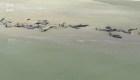 Más de un centenar de ballenas piloto mueren tras quedar varadas