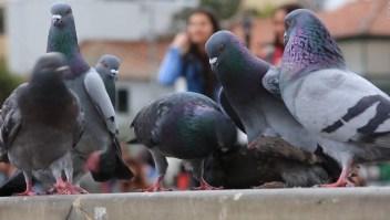 Así combate Bogotá la sobrepoblación de palomas