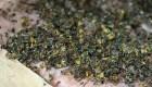 Ahora las avispas podrían matar bacterias con su veneno