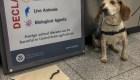 Hallan un milpiés africano gigante vivo en el aeropuerto de Atlanta