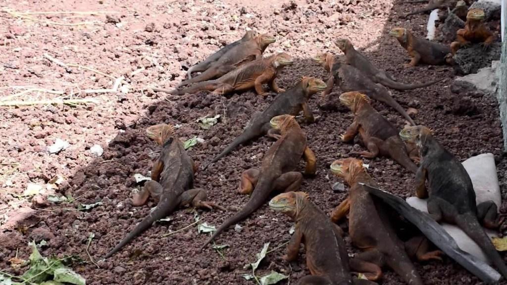 Islas Galápagos: Trasladan iguanas para conservar el ambiente
