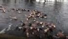 Decenas de vacas arrastradas por inundaciones