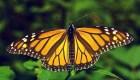 Aumenta un 144% la presencia de mariposas monarcas en México