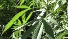 El dilema de la industria de la marihuana en EE.UU.