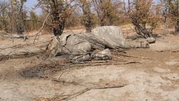 Aumenta la caza furtiva de elefantes en Botswana