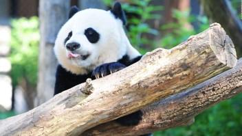 Video registra el rescate de una niña rodeadas de pandas