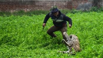 Así fue como un leopardo fue atrapado tras atacar a una comunidad