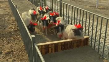 #EstoNoEsNoticia: cerditos compiten para el Año Nuevo chino