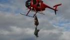 Increíble reubicación de alces Tule en helicóptero