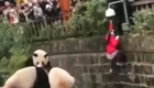 Una niña y varios pandas, juntos en una jaula