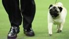 RankingCNN: Los pequeños perros que triunfaron en Estados Unidos