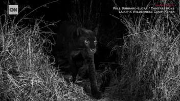 Descubren a un raro ejemplar de pantera negra en África