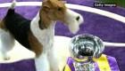 Un perro terrier es el nuevo rey