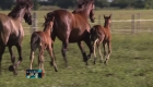 ¿Puede un caballo clonado superar a su original?