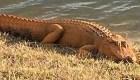 ¿Por qué estos dos caimanes son color naranja?