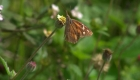 Las mariposas, otras víctimas del muro fronterizo
