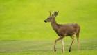 Autoridades alertan sobre brote de enfermedad del Ciervo Zombi